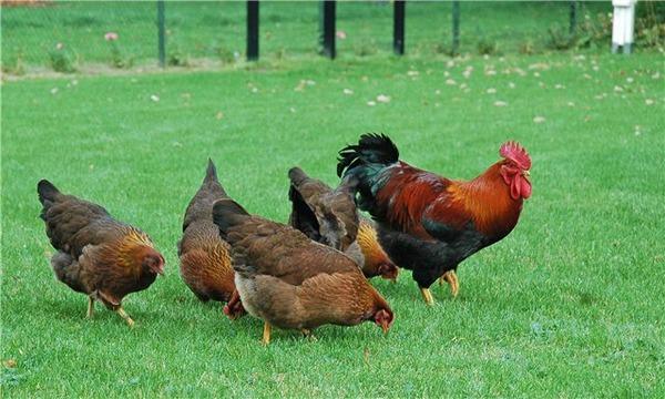 Pollos en la carrera