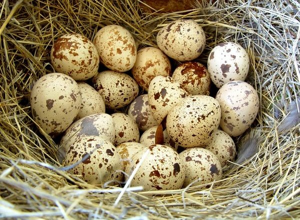 incubacion de huevos de codorniz