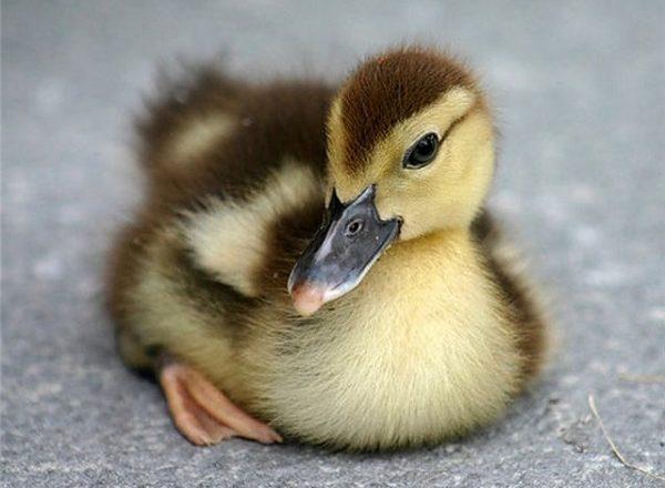 incubación de huevo de pato