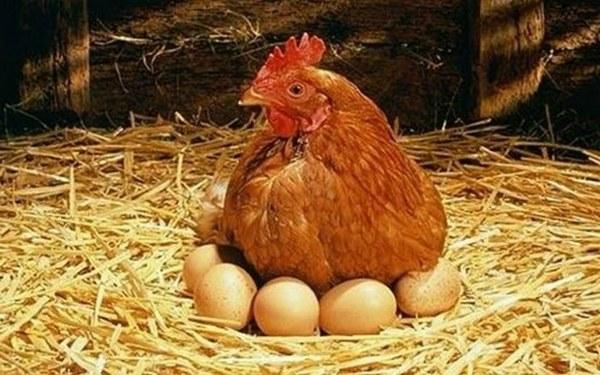 Alimentación gallinas ponedoras
