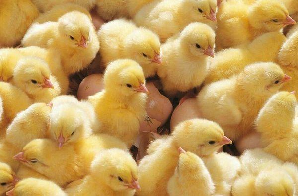 Pollitos de incubadora