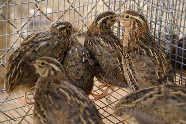 codornices en una jaula