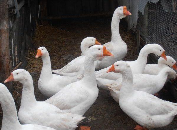 gansos linda