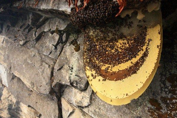Abejas silvestres y miel de montaña en panales