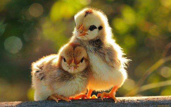 pollos creciendo en casa