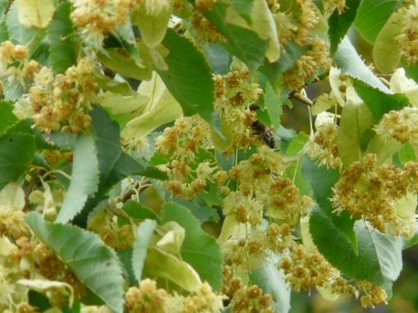 Linden flores y abejas