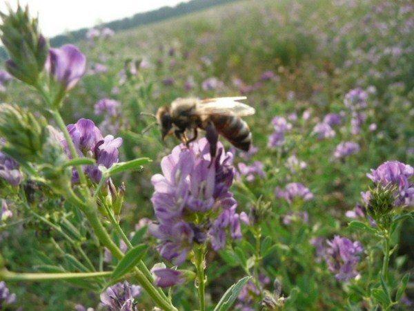 Abeja recolecta néctar de la flor de alfalfa