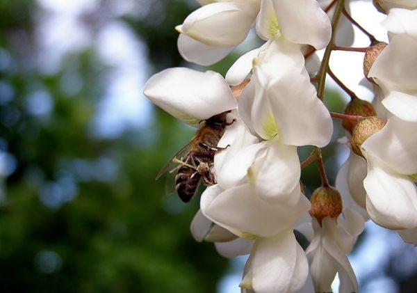 Abeja recolecta néctar sobre una flor de acacia blanca.
