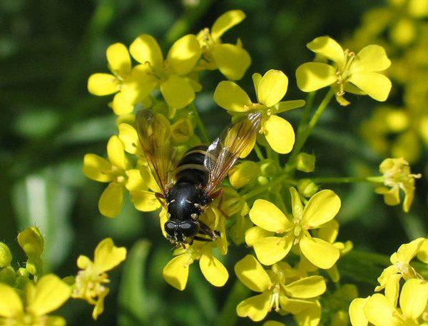 Trébol amarillo y abeja