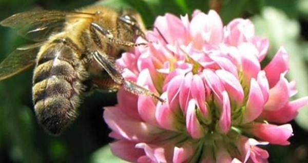 Abeja recolecta néctar de la flor del trébol