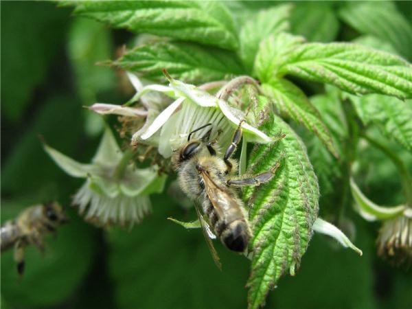 Flor de frambuesa con abeja