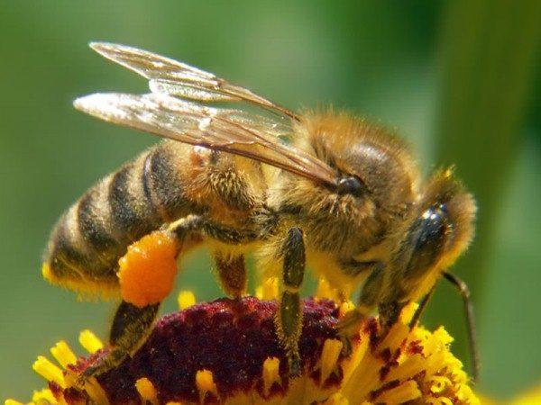 Abeja recolecta polen