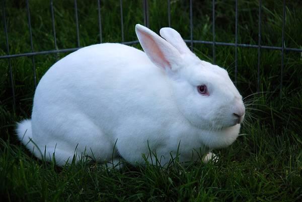 Conejo blanco en el valero.