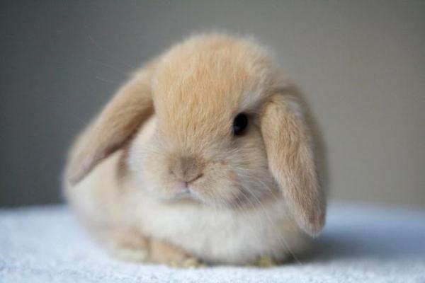 Conejo decorativo