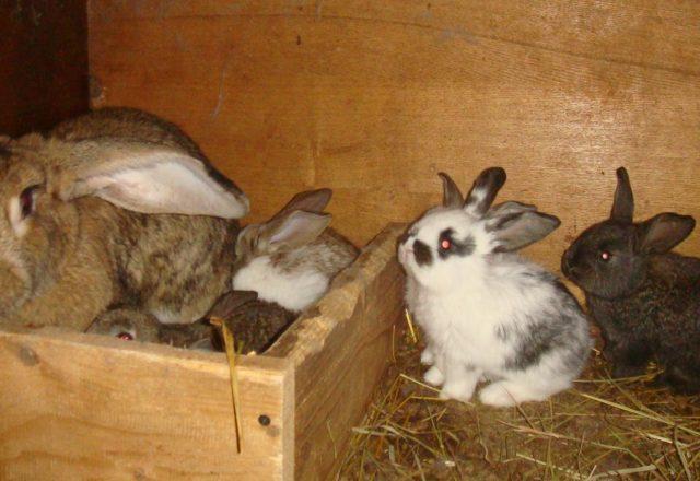 Embarazo Conejo