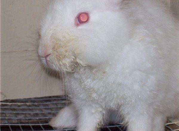 Estomatitis infecciosa en conejos.