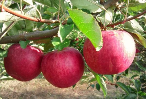 Variedades de manzano. Gloria a los ganadores: características descriptivas.