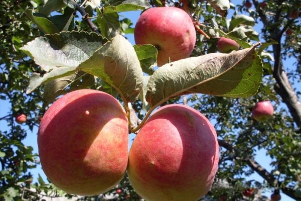 Variedades de manzanas Zhigulevskoe: características descriptivas, historia de selección