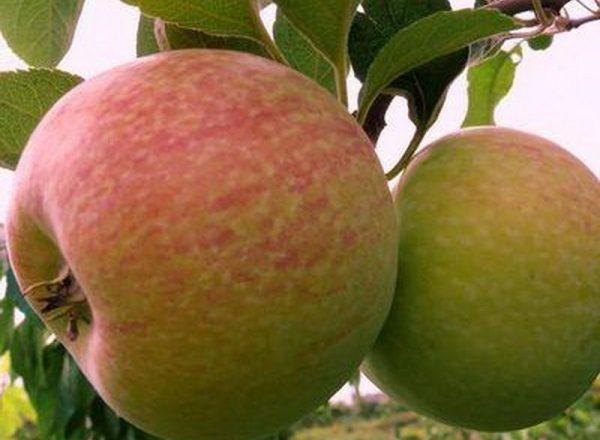 La variedad de manzanos Dulces: características descriptivas, reglas de siembra y cuidado.