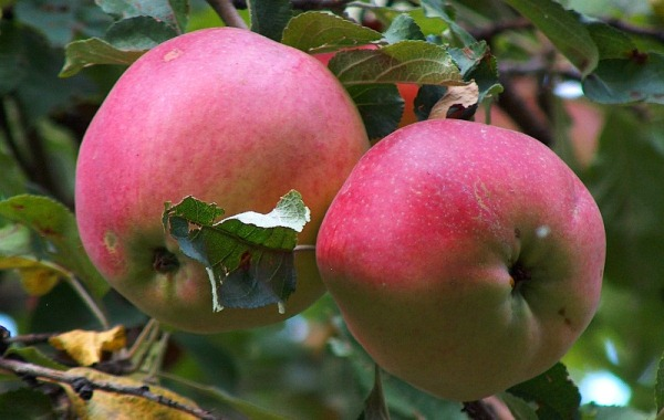 Las manzanas aportan