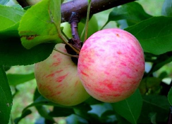 Manzanas pera