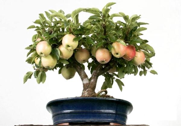 Cómo cultivar un manzano a partir de semillas en casa: instrucciones
