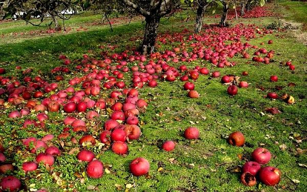 Causas de la caída de manzana