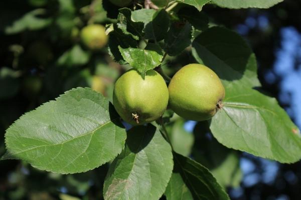 ¿Qué se puede hacer y cómo aplicar manzanas verdes?