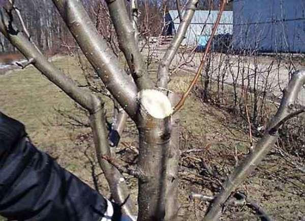 Manzana de poda
