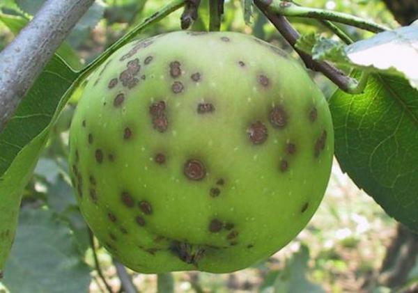 Manzana con cicatrices