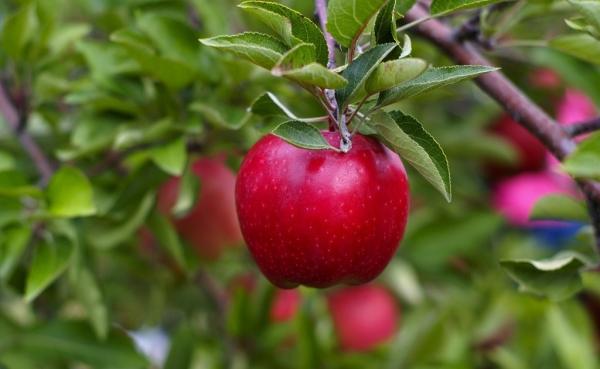 Cuándo y cómo plantar manzanas: consejos útiles e instrucciones paso a paso