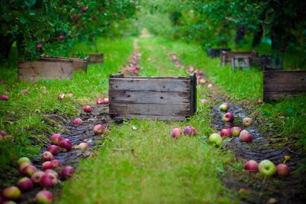 Cómo y cuándo recolectar manzanas para guardarlas durante el invierno: consejos
