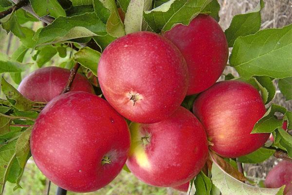 Frutas de Manzano Welsey