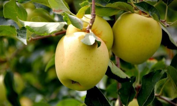 Manzanas de oro