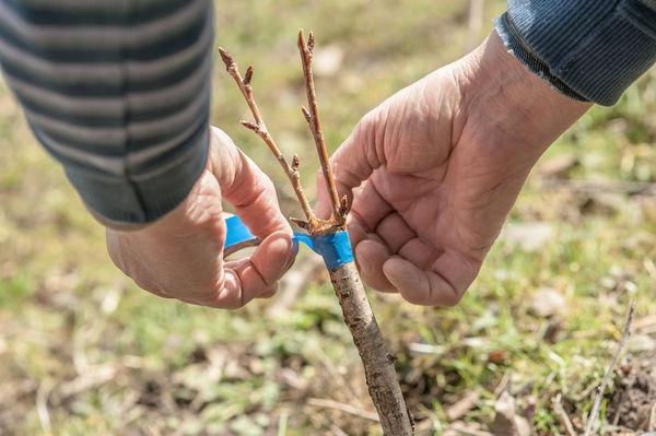 Métodos y peculiaridades de la cría de ciruelas: semillas, esquejes verdes, brotes de raíces e injertos