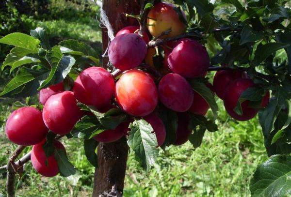Ural rojo variedad ciruela: descripción del árbol, plantación y cuidado, lucha contra enfermedades y plagas