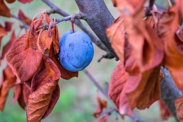 Cuidado adecuado de la ciruela en el otoño: medidas necesarias.