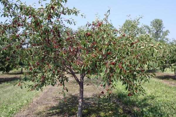Plantación de cerezas en otoño, cuidado de árboles, recomendaciones útiles.