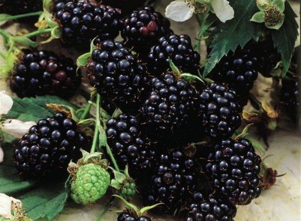 Blackberry variedades Chester: descripción y especificaciones, consejos sobre siembra y cuidado
