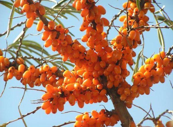Plantación y cultivo de espino amarillo en el país, cuidado y poda, trasplante de plantas.