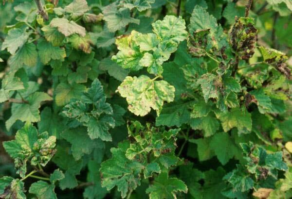 Pulgones sobre hojas de grosella.