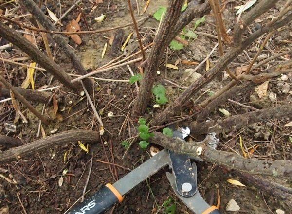 Cómo rejuvenecer el viejo arbusto de grosellas negras y rojas: objetivos de poda y recorrido