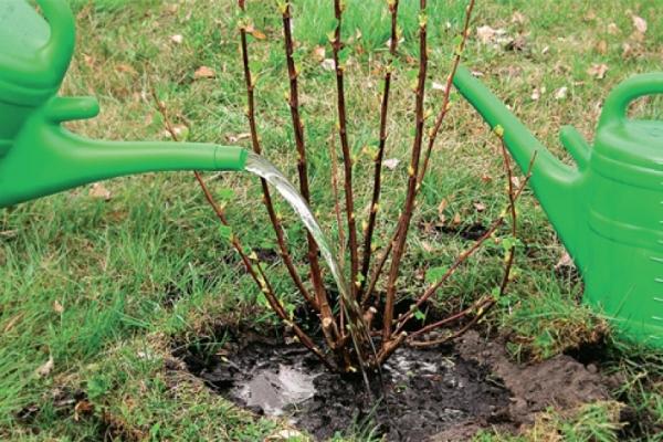 Plantación de grosellas