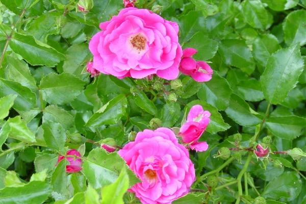 Plantación de rosal silvestre, cuidado de la planta, métodos de reproducción.