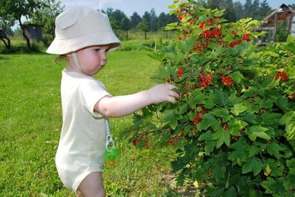 ¿Cómo cuidar las grosellas negras, rojas y blancas después de cosechar las bayas?