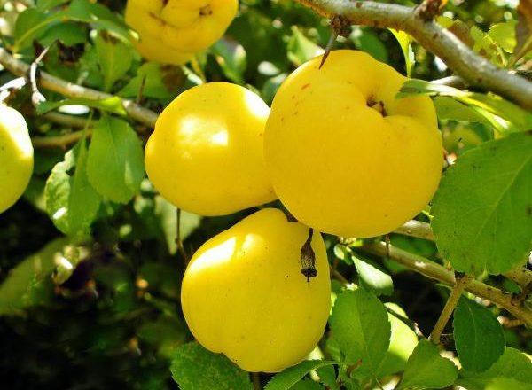 Frutas de membrillo