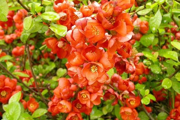 Plantación y cuidado del membrillo japonés, variedad.