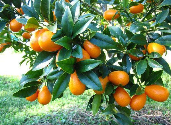 Kumquat de frutas tropicales