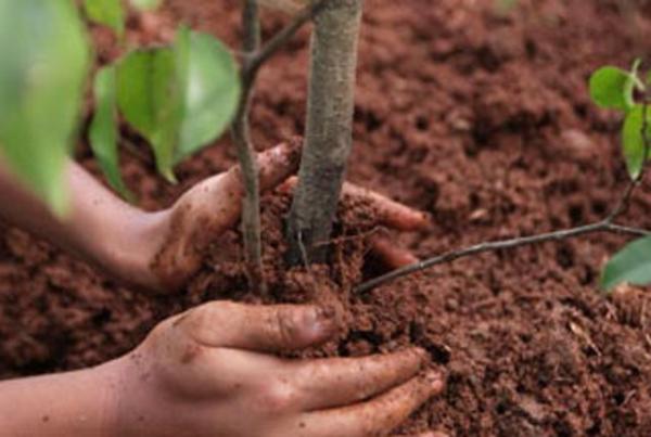 Plantando plantones de arboles frutales.