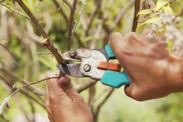Poda de árboles frutales: ¿por qué es necesaria y cuándo se lleva a cabo?